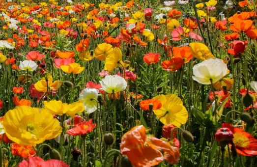 Free Stock Photo of Poppy Flowers