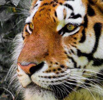 Free Stock Photo of Bengal Tiger