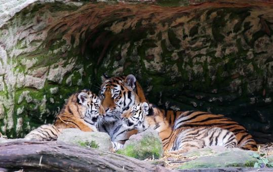 Free Stock Photo of Bengal Tiger Family