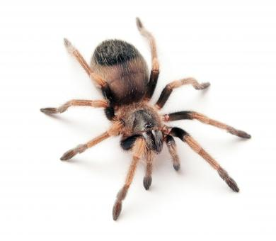 Free Stock Photo of Hairy Spider on White