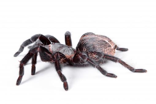 Free Stock Photo of Large Tarantula Spider