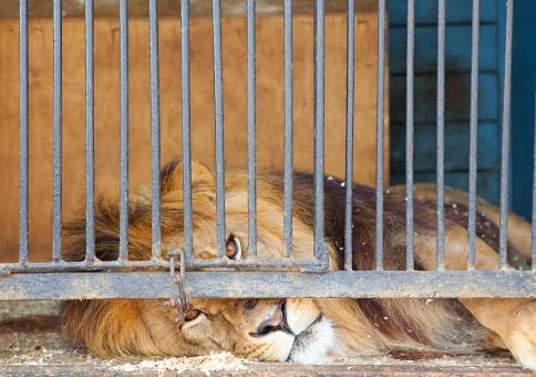 Free Stock Photo of Caged King