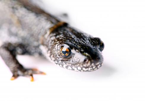 Free Stock Photo of Salamander Close Up