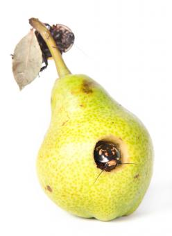 Free Stock Photo of rotten pear