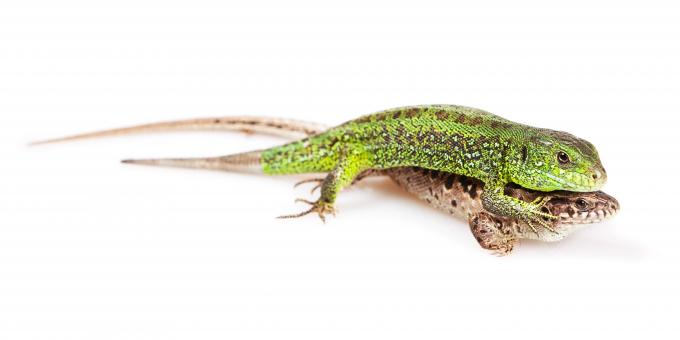Free Stock Photo of Two Lizards