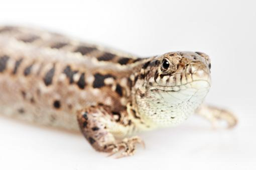 Free Stock Photo of Lizard - Close up