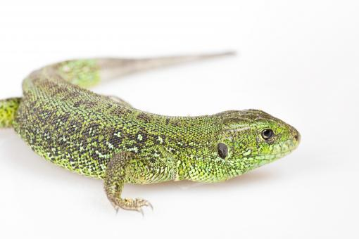Free Stock Photo of Green lizard on white
