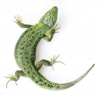 Free Stock Photo of Green Lizard - Top View