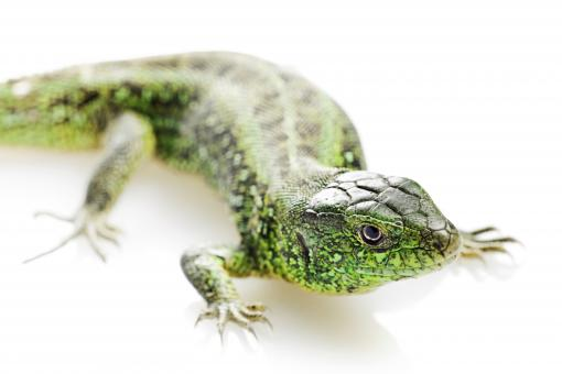 Free Stock Photo of Green Lizard - Close up