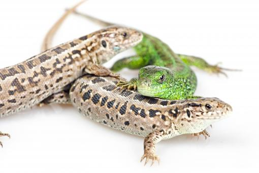 Free Stock Photo of Close Up of Three Lizards