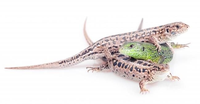 Free Stock Photo of Three Lizards on White
