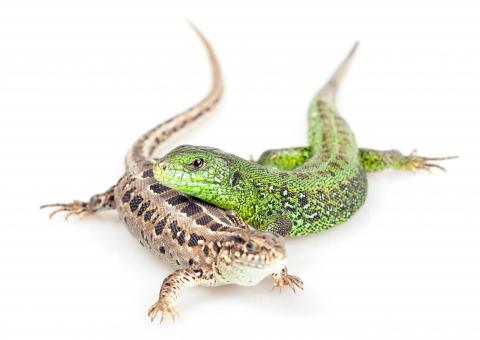 Free Stock Photo of Pair of Lizards