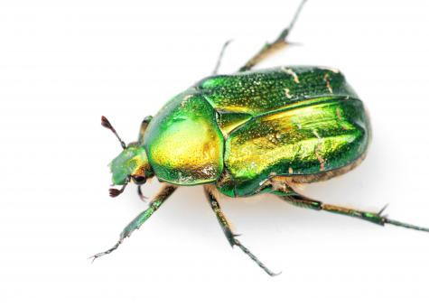 Free Stock Photo of chafer