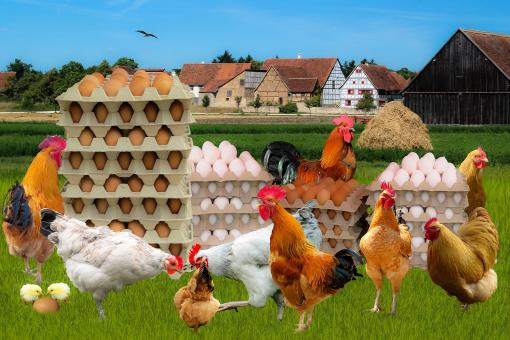 Free Stock Photo of Hens with Eggs