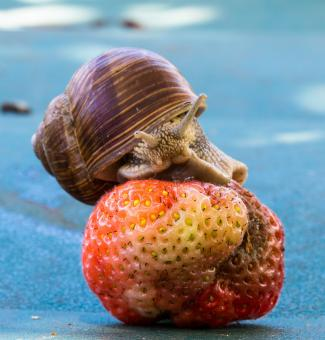 Free Stock Photo of Snail on the Strawberry