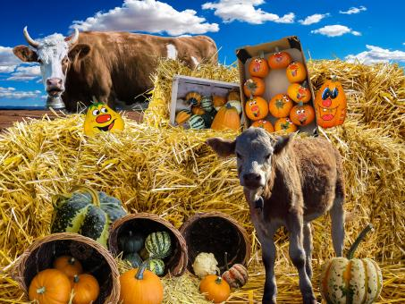 Free Stock Photo of Pumpkin, Straw Bales and Cows