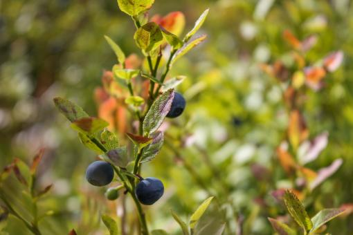 Free Stock Photo of Blueberries growing in the forest