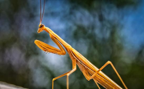 Free Stock Photo of Yellow Praying Mantis