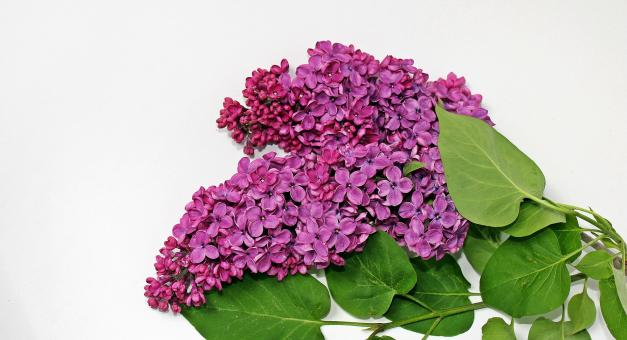 Free Stock Photo of Pink Lilac