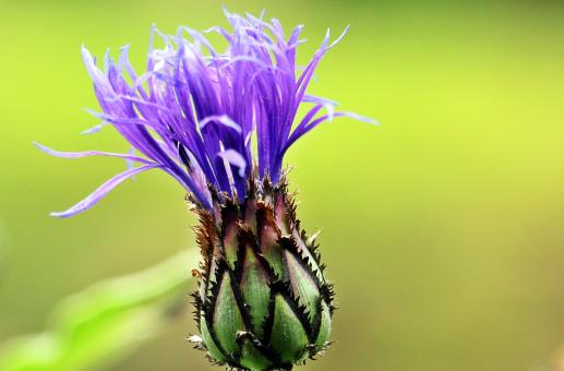Free Stock Photo of Cornflower