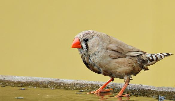 Free Stock Photo of Zebra Finch