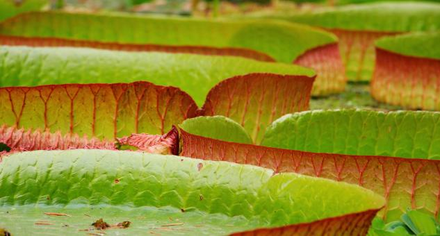 Free Stock Photo of Lily Pad