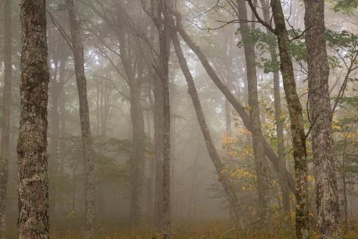 Free Stock Photo of Misty Spruce Knob Forest - HDR