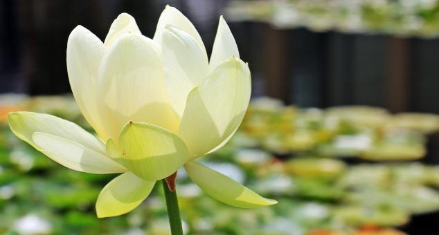 Free Stock Photo of Lotus Flower