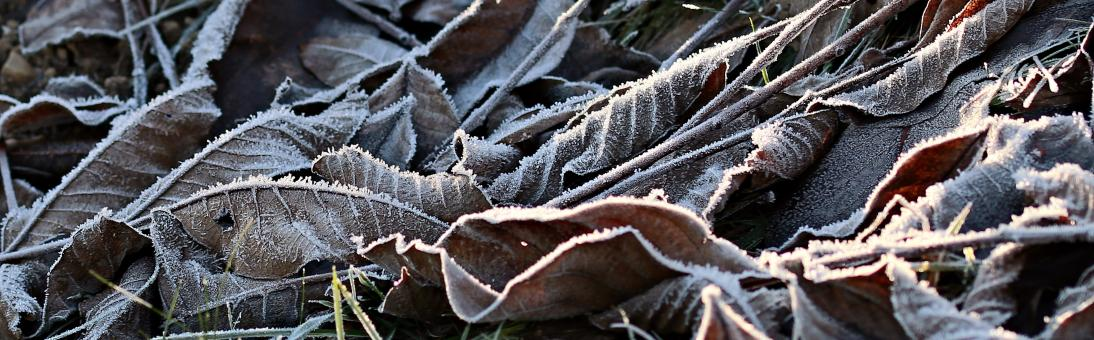 Free Stock Photo of Frozen Leaves