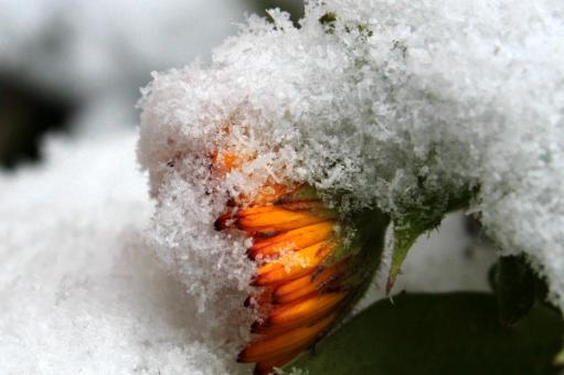 Free Stock Photo of Frost on Marigold