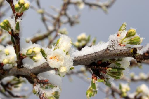 Free Stock Photo of Frost on Plum Tree