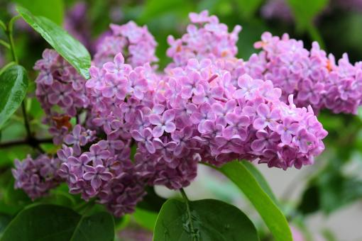 Free Stock Photo of Fresh Lilac