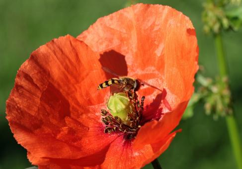Free Stock Photo of Fly on the Poppy