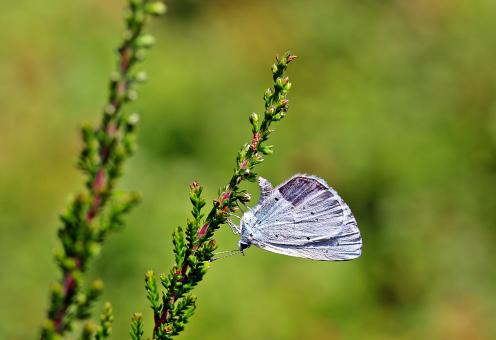 Free Stock Photo of Holly Blue