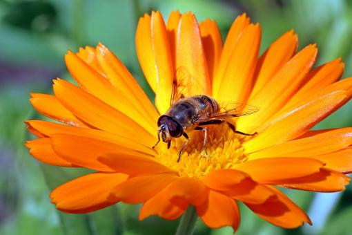 Free Stock Photo of Fly on  marigold