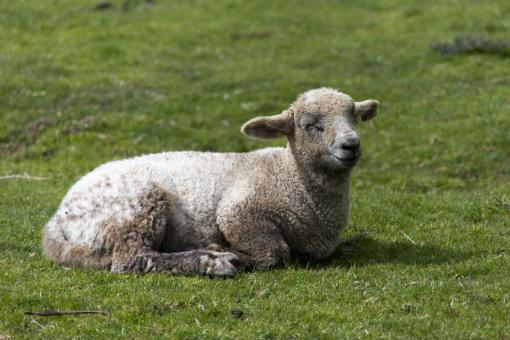 Free Stock Photo of Sheep Lying in the Grass