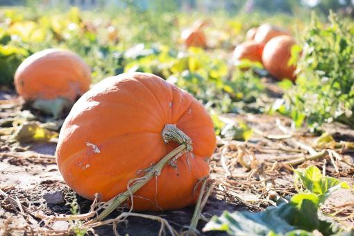 Free Stock Photo of Bunch of Pumpkins