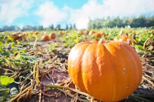 Free Stock Photo of Giant Pumpkin