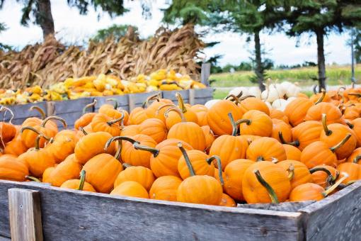 Free Stock Photo of Fresh Pumpkins