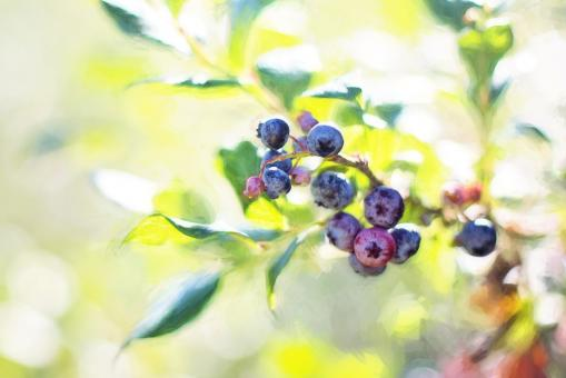 Free Stock Photo of Blueberries on the Tree
