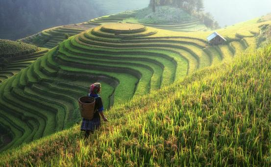 Free Stock Photo of Rice Plantation on the Hill