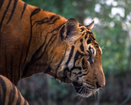 Free Stock Photo of Bengal Tiger Portrait