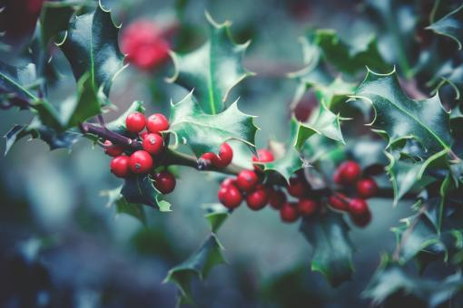 Free Stock Photo of Poisonous Berry