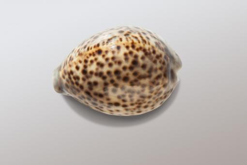 Free Stock Photo of Cowrie Shell
