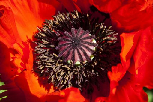 Free Stock Photo of Bee on the Poppy