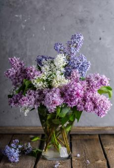 Free Stock Photo of Lilac in the Pot