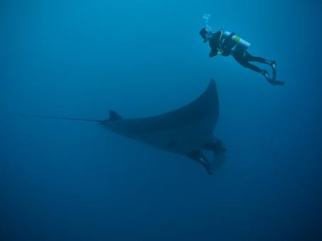 Free Stock Photo of Manta Ray