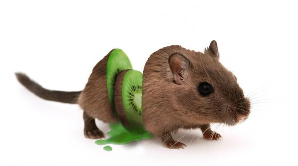 Free Stock Photo of Kiwi Mouse