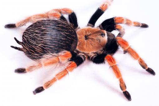 Free Stock Photo of Large Hairy Spider