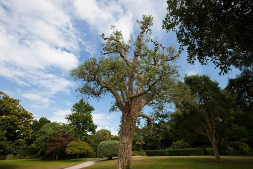 Free Stock Photo of Cork Oak